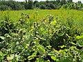 20120813Arctium lappa5.jpg