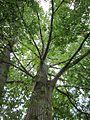 20120828Pappel Saarbeuecken1.jpg