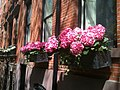 2012 windowboxes with Hydrangeas 7211614776.jpg
