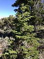 2013-06-27 09 46 56 Juvenile White Fir on the northwestern slopes of Spruce Mountain, Nevada.jpg
