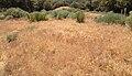 2013-06-27 14 44 47 Invasive cheat grass on Spruce Mountain in Nevada.jpg