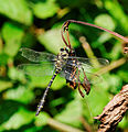 2014-09-08 12-51-26 anisoptera-sp.jpg