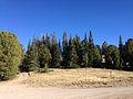 2014-10-04 16 28 36 View of Subalpine Firs and Whitebark Pines along Charleston-Jarbidge Road (Elko County Route 748) at Bear Creek Summit about 15.0 miles north of Charleston, Nevada.JPG