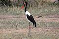 2014-11-23 047 Sattelstorch Ephippiorhynchus senegalensis anagoria.JPG
