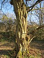 20140320Carpinus betulus10.jpg
