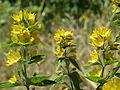 20140622Lysimachia vulgaris1.jpg