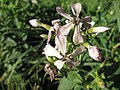 20141019Saponaria officinalis1.jpg