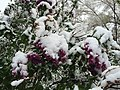 2015-05-07 07 15 57 New green leaves and flowers covered by a late spring wet snowfall on a Lilac on South 9th Street in Elko, Nevada.jpg