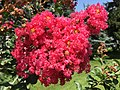 2015-07-19 11 28 01 Crape Myrtle blossoms along Tranquility Court in the Franklin Farm section of Oak Hill, Virginia.jpg