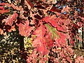 2015-11-08 15 20 04 White Oak foliage during autumn along West Ox Road (Virginia State Secondary Route 608) in Oak Hill, Fairfax County, Virginia.jpg