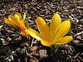 20150225Crocus chrysanthus2.jpg