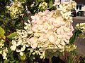 20150822 Hydrangea paniculata 2.jpg