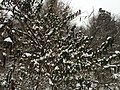 2016-02-15 08 29 18 Snow-covered honeysuckle along Lees Corner Road (Virginia State Secondary Route 645) in the Armfield Farm section of Chantilly, Fairfax County, Virginia.jpg