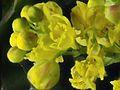 2016-02-27-11.47.33 ZS PMax Berberis aquifolium-1 (24687826184).jpg
