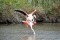 20170425 148 Camargue Flamingo (33621686634).jpg