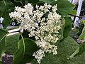 2020-05-27 06 58 54 Japanese tree lilac flowers along Tayloe Court in the Franklin Farm section of Oak Hill, Fairfax County, Virginia.jpg