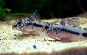 Description de l'image 2corydoras-habrosus.jpg.