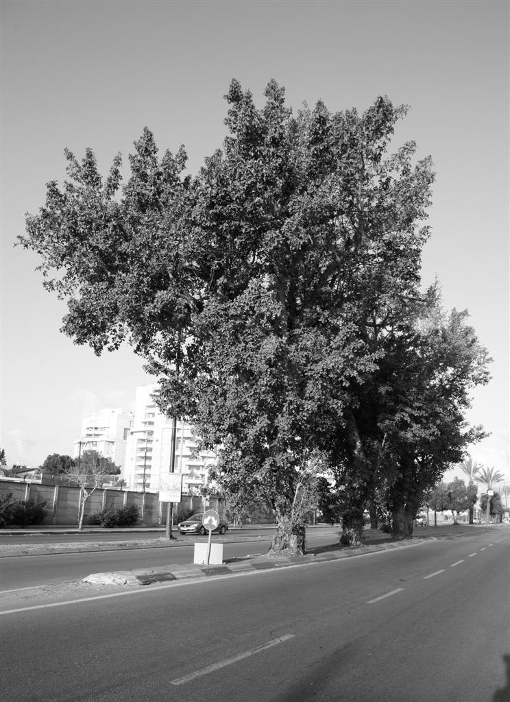3 Sycamores in Kibutz Galuyot Rd., TLV