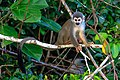 4 day trip to La Selva Lodge on the Napo River in the Amazon jungle of E. Ecuador - squirrel Monkeys (Saimiri sciureus) - (26865787955).jpg