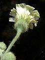 A.integrifolia-cap.- 3c.jpg