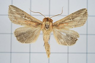 <i>Mythimna decisissima</i> species of insect