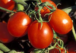 ARS Ohio processing tomato