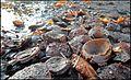 A Lille Marrons d'Inde toxiques écrasés toxic Common Horse Chestnut 06.jpg