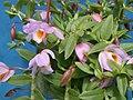 A and B Larsen orchids - Dendrobium loddigesii DSCN5332.JPG