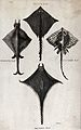 A black ray, a Manatia ray, a Cuvier's ray and a fringed ray Wellcome V0022049.jpg