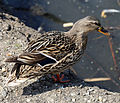 A duck at Fishers Green, Lee Valley, Waltham Abbey, Essex, England 01.jpg