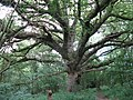 A fine Oak tree in Seven Acre Hanger - geograph.org.uk - 1367869.jpg