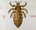 A head louse (Pediculus humanus). Coloured drawing by A.J.E. Wellcome V0022540.jpg