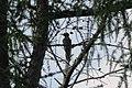 A rare Black woodpecker at Westerheide. They sing kru, kru, kru when flying en tsiep, tsiep, tsiep, when sitting like at this image - panoramio.jpg