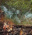 A slime mould - Ceratiomyxa fruticulosa (plasmodium) - geograph.org.uk - 923285.jpg
