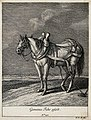 A wagon horse with blinkers, joke and girth standing in a fi Wellcome V0021150ER.jpg