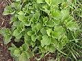 Ab plant 1564.jpg