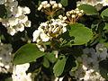 Ab plant 1785.jpg