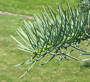 Abies concolor needles 20060624.jpg