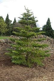 Abies koreana by Nick.JPG