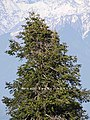 Abies pindrow India19.jpg