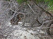 North Island-Mammals-Abrolhos North-Island3