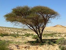 Акация дерево или кустарник википедия