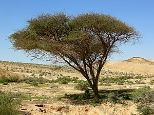 Acacia sensu lato - Acacia tree near the limit of its range in the Negev Desert of southern Israel