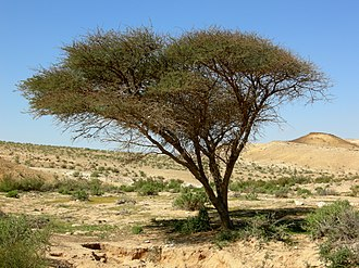 Negev - Of the three Acacia species growing in high plateau of the Negev, Acacia pachyceras is the most cold-resistant.