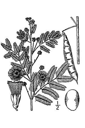 Acaciella angustissima - Acaciella angustissima