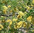 Acacia greggii 4.jpg