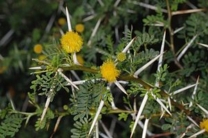 Vachellia karroo - Close-up of flower heads, thorns and leaves