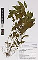 Acalypha rhomboidea Raf. (AM AK351725).jpg