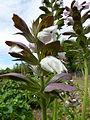 Acanthus hungaricus (Acanthaceae) flower.JPG