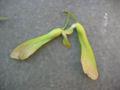Acer saccharinum frucht.jpeg